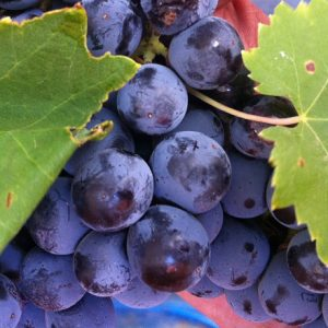 Grappolo di uva rossa Perricone